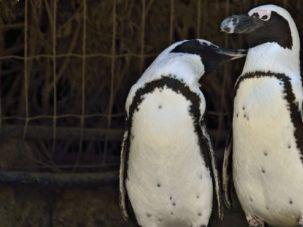 Hey, Ladies!: Suki and Chupchikoni, the Ramat Gan Zoological Center?s lesbian penguin couple.