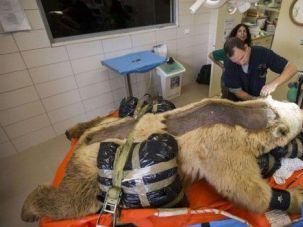 Bear Necessities: Mango the bear undergoes surgery in Ramat Gan, Israel.