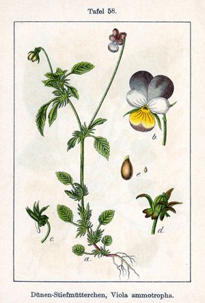Viola Violation: Pansies are a type of violet also known as ?kiss- me-at-the-garden-gate.?