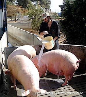 STY TOWN: The author, seen here on Kibbutz Lahav, moved to the collective to understand the phenomenon of pig farming in Israel.