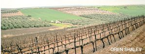 FINE VINES: Israel?s Tabor vineyard grows Cabernet Sauvignon and Merlot grapes on a volcanic slope. Olive trees, almond trees and wheat are planted on the opposing slope.